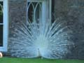 Castle white peacock photo Charles Taylor